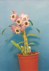 Dendrobium will eventually produce flowers when it is repotted