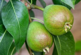 Fruit trees need looking after