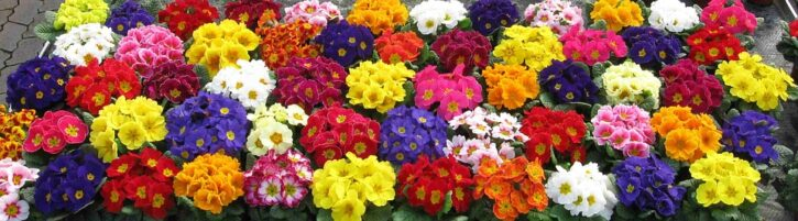 How to Grow and Get the Best from your Indoor Primulas
