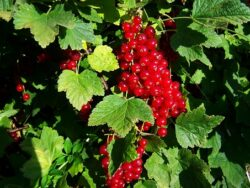 Blackcurrants are a delight in the garden