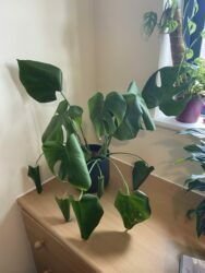 Underwatered houseplant