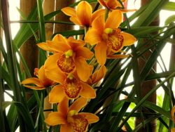 Your Cymbidium will be flowering soon once again