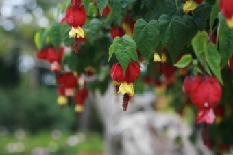 Abutilons make great container specimens