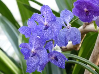 How to Repot a Typical Vanda-Type Orchid