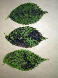Look out for leaf fungal diseases