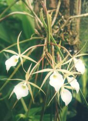 Brassavola can also be used