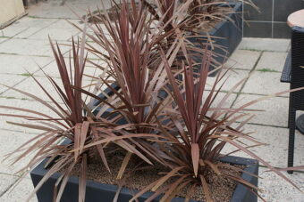Growing Cordylines in Containers- How to Grow this Colourful Plant