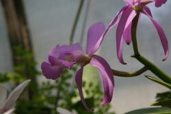 Cattleya walkeriana make suitable species for wall mounting