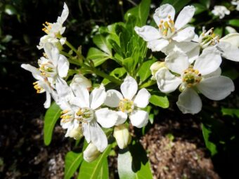 Choisyas are wonderful shrubs to have in a container