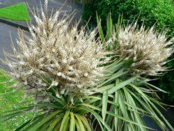 cordyline in flower