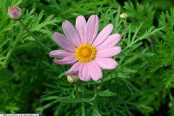 Argyranthemum 'Comet Pink'