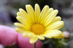 Argyranthemum 'Golden Butterfly'