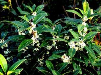 Growing Osmanthus in Containers- Growing this Fragrant Shrub
