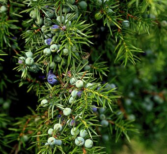 Growing Junipers in Containers- Growing these Tree in Containers