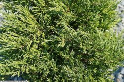 Juniperus 'Andorra Compacta'