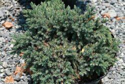 Juniperus 'Blue Star'
