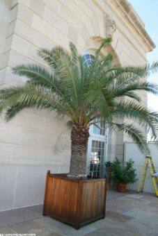 Phoenix canariensis in container