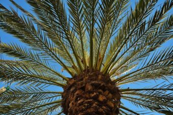 Phoenix palm are great are specimen plants in containers