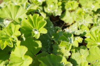 Alchemilla mollis make an ideal container plant