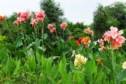 Canna Lily 'Panoramio'