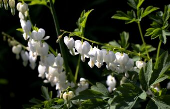 Growing Dicentra (Lamprocaphos -Bleeding Hearts)) in Containers- Growing this Heart-Shaped Perennial