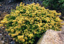Thymus x citriodorus 'aureus'