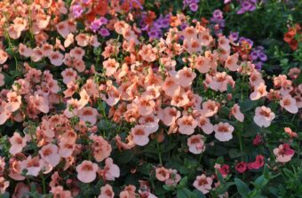 Growing Diascias in Containers- Growing this Trailing Perennial of Twinspur